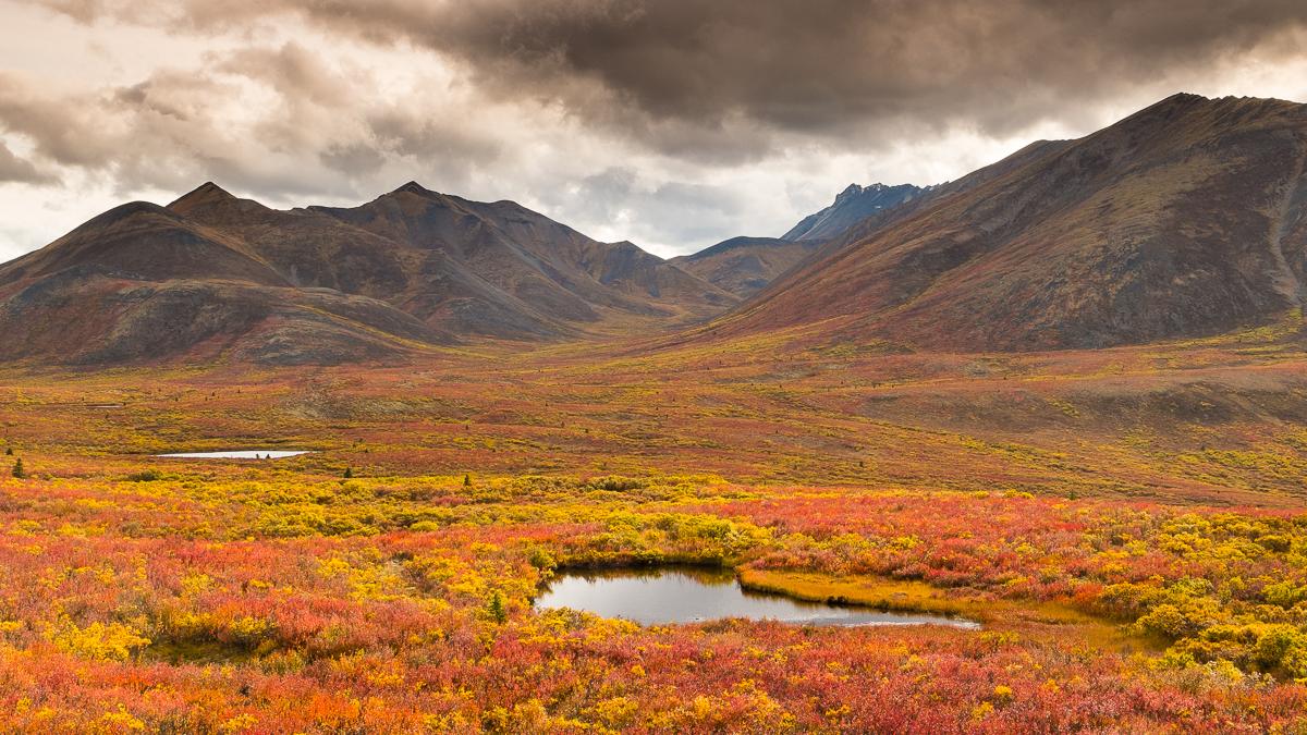 Fall colours blaze across Tombstone Territorial Park, Yukon Territory, Canada.