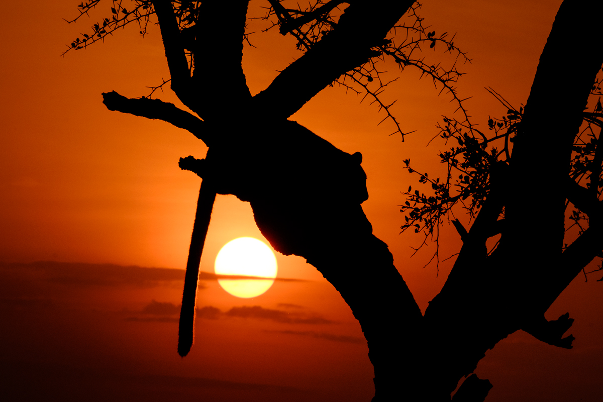 The leopard, silhouetted in front of the setting sun, has both blown highlights and plunged shadows.